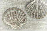Two King Scallop Shells
