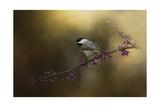 Chickadee in the Golden Light