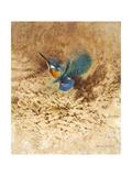 Kingfisher Study