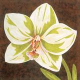 Surabaya Orchid Petites B