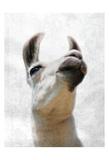 Pondering Lama