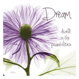 Purple Chrysanthemum Dream
