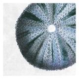 Urchin Shell 3 Reproduction d'art par Sheldon Lewis