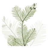 Sage Sequoia