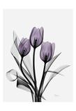 Three Purple Tulips H14