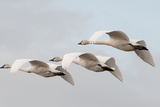 A Trio of Trumpeter Swans  Cygnus Buccinator  in Flight