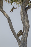 An Adult Baboons Watching at its Young Jumping from Branch to Branch on Tree