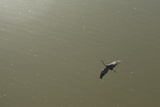 Aerial of a Heron in Flight at the Las Tres Lagunas on the Southern Edge of Mexicali