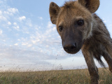 A Remote Camera Captures a Spotted Hyena  Crocuta Crocuta