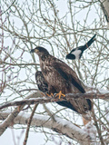 An Immature Bald Eagle Being Dive-Bombed by a Black-Billed Magpie Near the Magpie's Nest