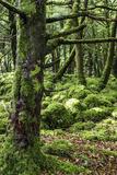 Moss Covered Trees in Killarney National Park  Killarney