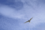 An Arctic Tern in Flight Above Flatey Island  Breidafjord