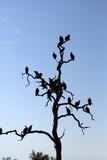 Vultures Perch on a Tree  Selinda Camp  Botswana