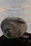 Portrait of a Harbor Seal
