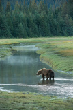 Brown Bear  Ursus Arctos  Standing in Water at Silver Salmon Creek Lodge