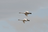 A Pair of Trumpeter Swans  Cygnus Buccinator  in Flight