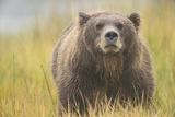 Brown Bear  Ursus Arctos  at Silver Salmon Creek Lodge in Lake Clark National Park