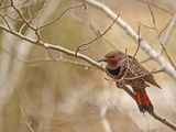 A Red-Shafted Flicker  Colaptes Auratus  Near Bozeman  Montana