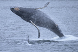 A Breaching Humpback Whale with a Calf in Chatham Straight
