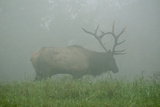 Elk in Morning Fog at Tennessee Wildlife Resources Agency in North Cumberland