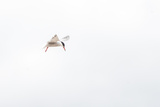 Common Tern  Sterna Hirundo  in Flight