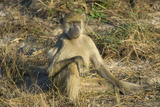 A Chacma Baboon  Zambia