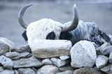 Yak Behind a Stone Wall in the Khumbu Valley  Nepal
