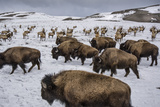 Bison and Elk Share Winter Ranges in the National Elk Refuge Near Jackson  Wyoming