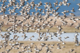 A Large Flock of Dunlin Birds  Calidris Alpina  in Flight