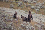 A Grizzly Bear with its Two Cubs at Yellowstone National Park