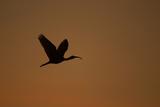 A Scarlet Ibis Flies Through the Orange Sky at Sunset over Orinoco River Delta  Venezuela