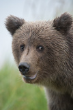 Close-Up of Brown Bear  Ursus Arctos  in Lake Clark National Park and Preserve