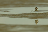 A Semipalmated Plover Forages at Low Tide in the Mudflats of the Orinoco River Delta