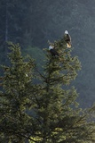 Bald Eagle  Haliaeetus Leucocephalus  Perching on a Tree