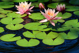 Water Lilies Flowering in a Pond on Cape Cod