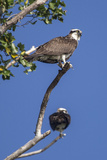 A Pair of Ospreys  Pandion Haliaetus  Perched on the Branch of a Tree