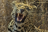 A Leopard Yawns in Sabi Sand Game Reserve