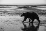 Brown Bear Walking at Silver Salmon Creek Lodge in Lake Clark National Park