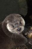 A Eurasian Otter  Lutra Lutra