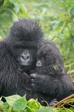 Portrait of Mountain Gorilla  Gorilla Beringei Beringei  with its Young