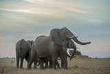 An African Elephant Herd Dusting with Beautifully Colored Clouds Behind Them