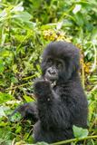 A Young Mountain Gorilla  Gorilla Beringei Beringei  Eating Leaves of Plants