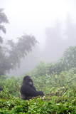 Mountain Gorilla  Gorilla Beringei Beringei  Sitting in Misty Forest