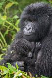 Mountain Gorilla  Gorilla Beringei Beringei  with its Young