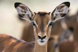 Portrait of a Young Male Impala  Aepyceros Melampus