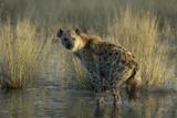 Spotted Hyena on the Shoreline  Upper Vumbura Plains  Botswana