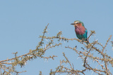 Lilac-Breasted Roller  Coracias Caudatus  Perching in a Thorny Tree