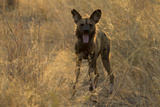 An African Wild Dog  Lycaon Pictus  Yawns at Sunset