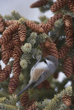 A Boreal Chickadee Perches on a Tree Branch