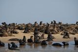 A Large Group of Cape Fur Seals Along the Shoreline  Swakopmund Town  Namibia